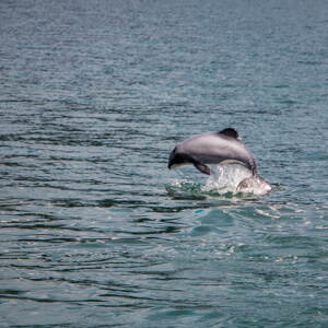 New-Zealand-Hectors-Dolphin-Jumping