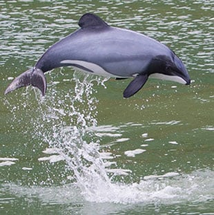 Swim with dolphins, Akaroa, Hectors dolphins