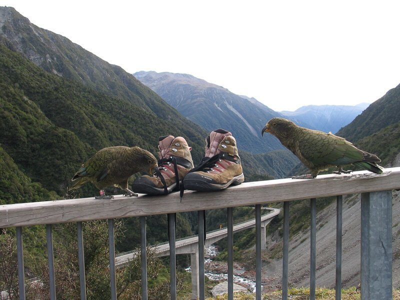 Keas with hiking boots, Otira Lookout