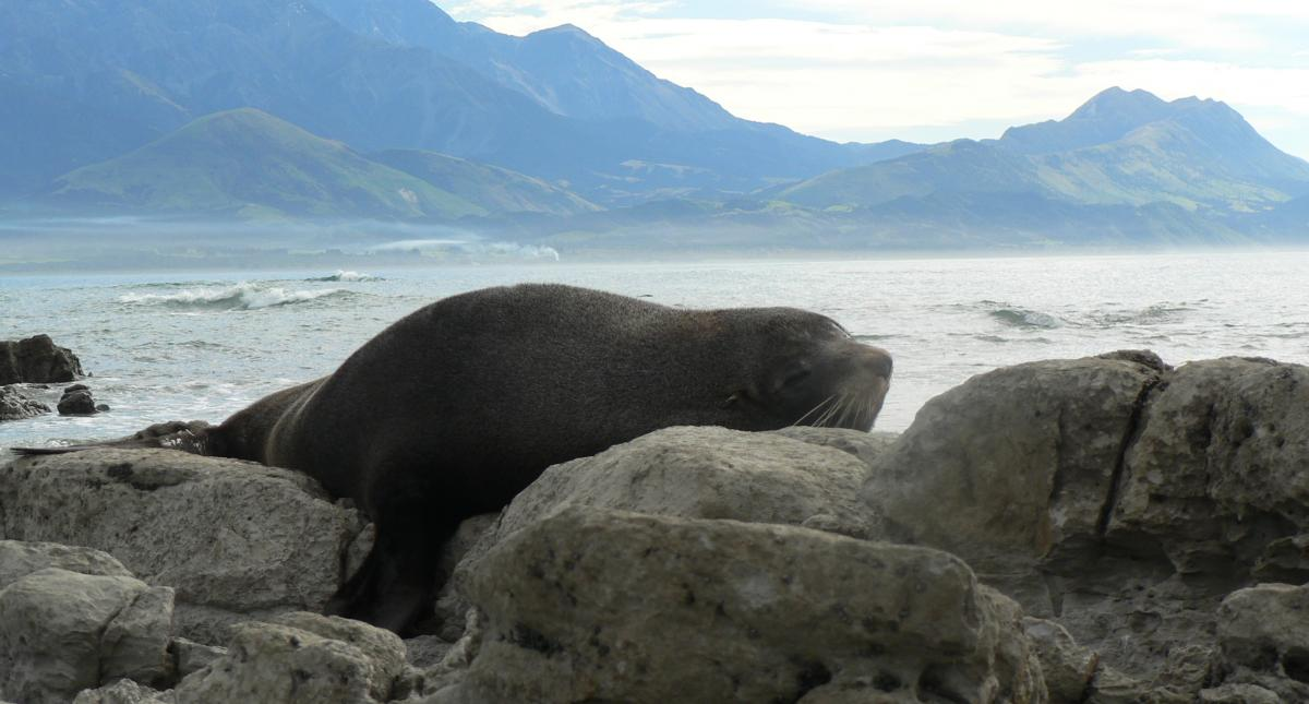 Seals Kaikoura Masterpiece and Classic2