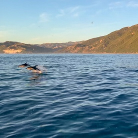 Dolphins jumping at Kaikoura, Canterbury New Zealand