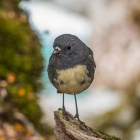 Robin bird on Routeburn Track river, Otago New Zealand