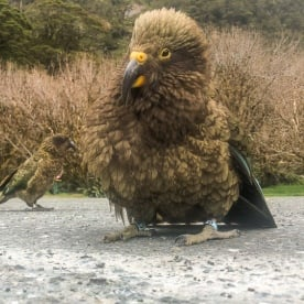 Keas in Fiordland, New Zealand