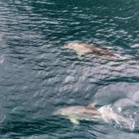 Dolphins at Milford Sound, Fiordland National Park Southland New Zealand