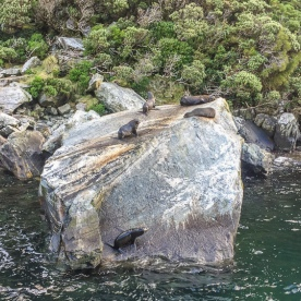 Seals at Milford Sound, Fiordland National Park Southland New Zealand