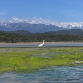 Heron at Okarito Lagoon, West Coast New Zealand