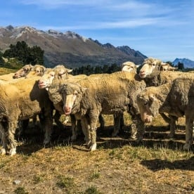 Sheeps at Lake Wakatipu, Otago New Zealand