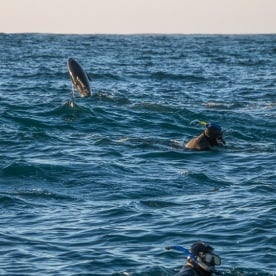 Swimming with Dolphins at Kaikoura, Canterbury New Zealand