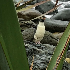 Crested Penguin at Martins Bay, Fiordland National Park Southland New Zealand