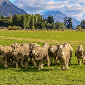 Sheeps at Mount Nicholas Farm, Otago New Zealand
