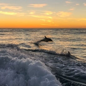 Dolphin jumping at Kaikoura, Canterbury New Zealand