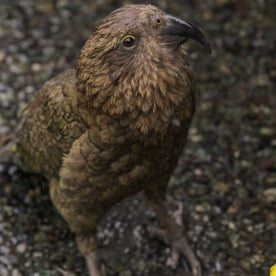 Kea at Fiordland, New Zealand