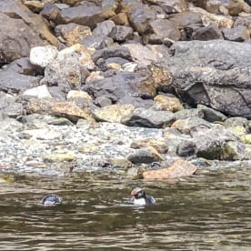 Penguins at Milford Sound, Fiordland New Zealand