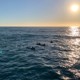 Dolphins at Kaikoura, Canterbury New Zealand