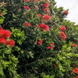 Pohukutawa flowers at Waiheke Island, Auckland New Zealand