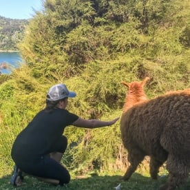 Llama at Lochmara Lodge, Marlborough Sounds New Zealand