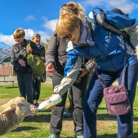 Feeding a Sheep with an Infant Feeding Bottle at Otago, New Zealand