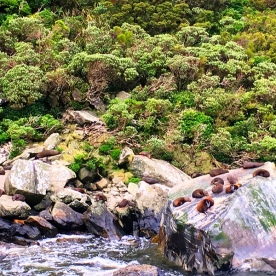 One of the isolated seal colonies you get to see in Milford Sound.