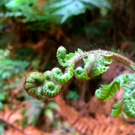 A beautiful koru formed by an unfurling fern leaf
