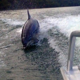 dolphin riding the boat wave