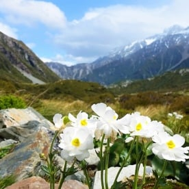 White Lily at Aoraki Mount Cook National Park