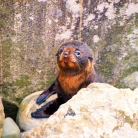 Here he is - don't you just want to cuddle him! Fur Seal pup. Fiordland.