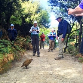 weka at mou waho island new zealand