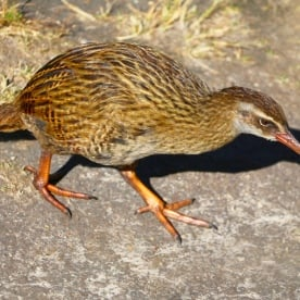 The inquisitive and fearless Weka. Mou Waho Island