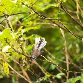 Piwakawaka also known as a Fantail - you can see why!