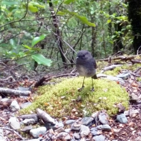 new zealand robin on the routeburn track
