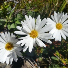Native Daisies Routeburn Track