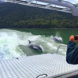 Dolphins in Lake McKerrow