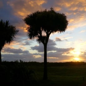 new zealand sunset cabbage tree