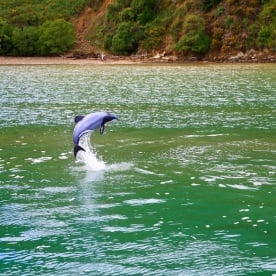 8 dolphin swimming picton new zealand