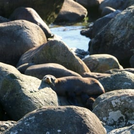 9 martins bay seal colony fiordland 5