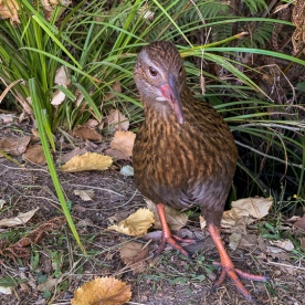 Weka at Lochmara Lodge, Marlborough Sounds New Zealand