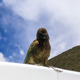 Kea at Monkey Creek, Fiordland New Zealand