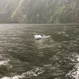 Dolphin at Milford Sound, Fiordland New Zealand