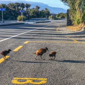 Wekas crossing road at Punakaiki, West Coast New Zealand