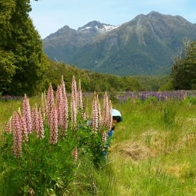 lupins at milford road