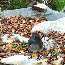 A South Island Robin on the Routeburn Track. These little guys are very inquisitive