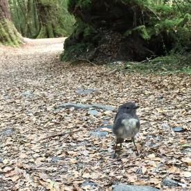 A curious Robin on the Routeburn