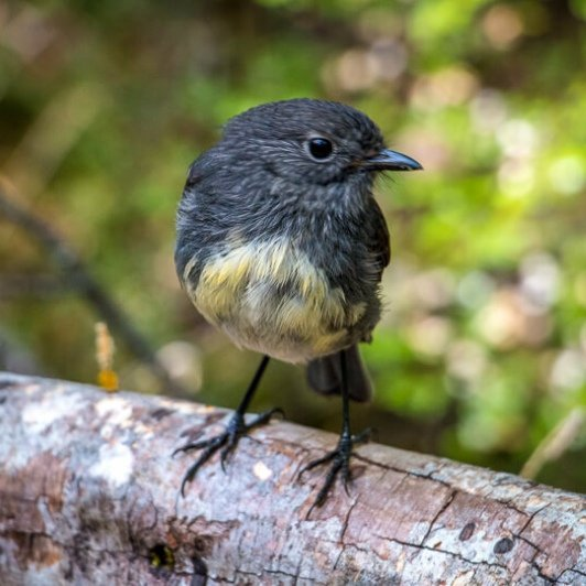 south island robin close up