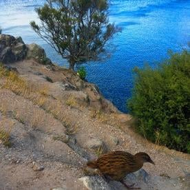 One of the local population of rare Weka birds that have been re-introduced to this island