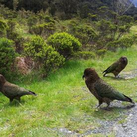 Kea at Milford Sound