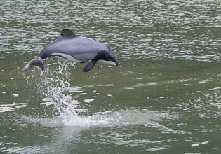 pure south hectors dolphin