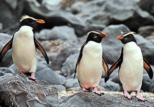 world heritage fiordland penguins